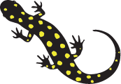 illustration of a salamander